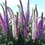 Lankfun Blumensamen für Bienen,Schwiegermutter Samen Spike Blume Vier Jahreszeiten leicht...